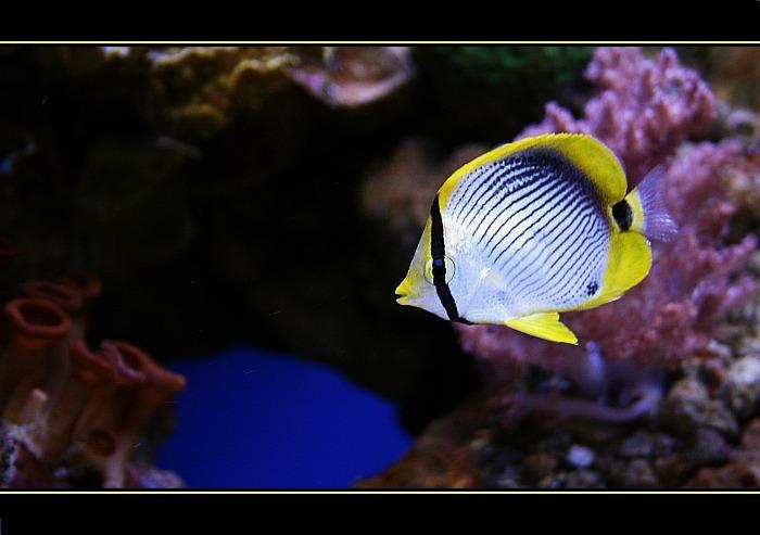 The Yellow Fishie