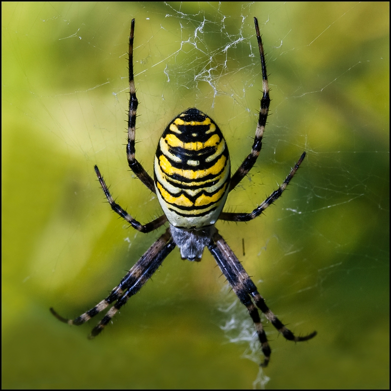 ...The Yellow Spider...