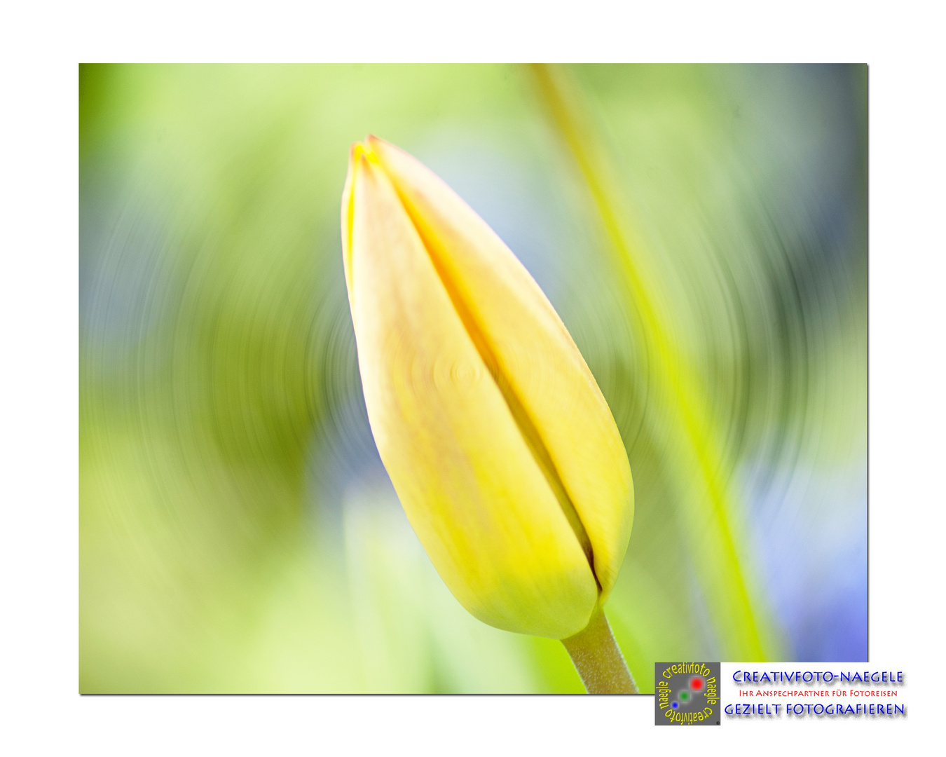 The yellow Tulip