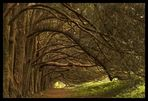 The yew walk, Huntington Castle, Clonegal, Co. Carlow