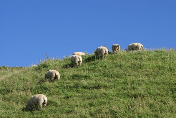 There are more sheeps in ireland