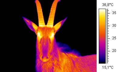 Thermographic Ibex