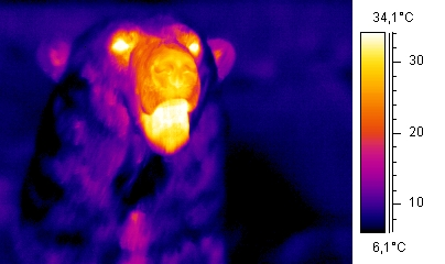 Thermographic polar bear