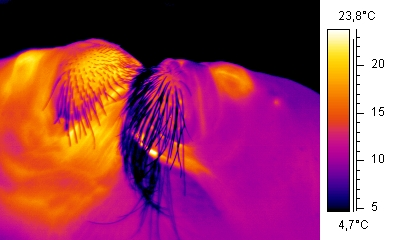 Thermographic walrusses kissing