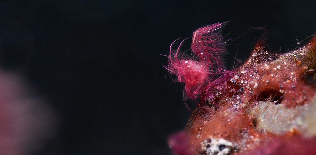 "They call me ""Hairy Shrimp"" II"
