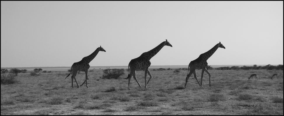 ... this is giraffe country ...