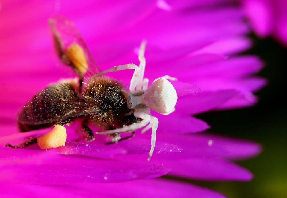 Thomise (araignée) agressant un bourdon