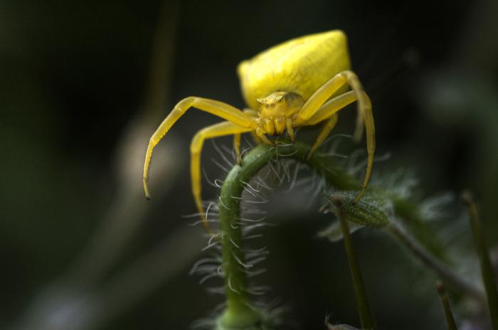 Thomise jaune