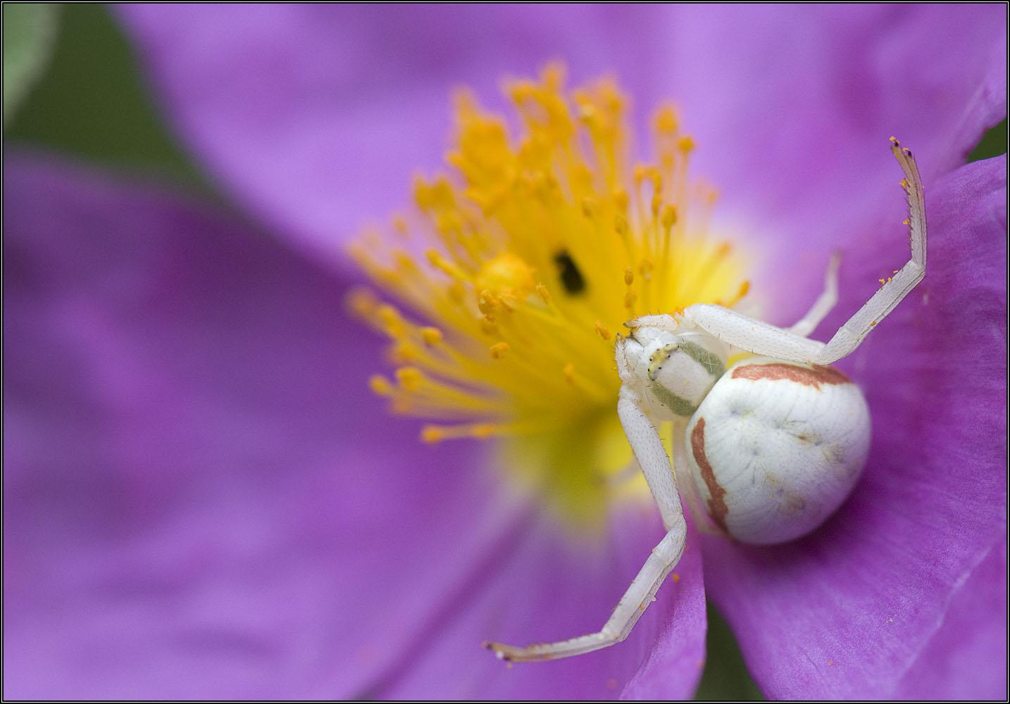 Thomise sur fleur de cyste