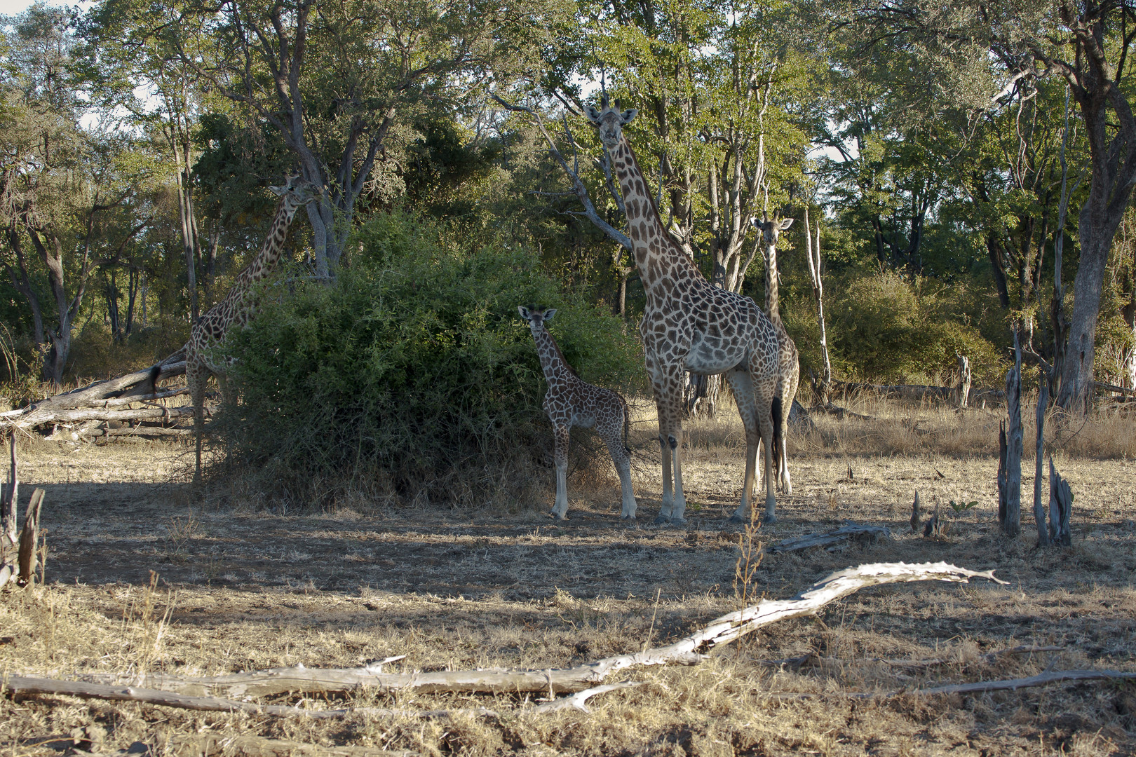 Thornicroft-Giraffe (G. c. thornicrofti), South-Luangwa-Tal in Sambia / 18.06.2013