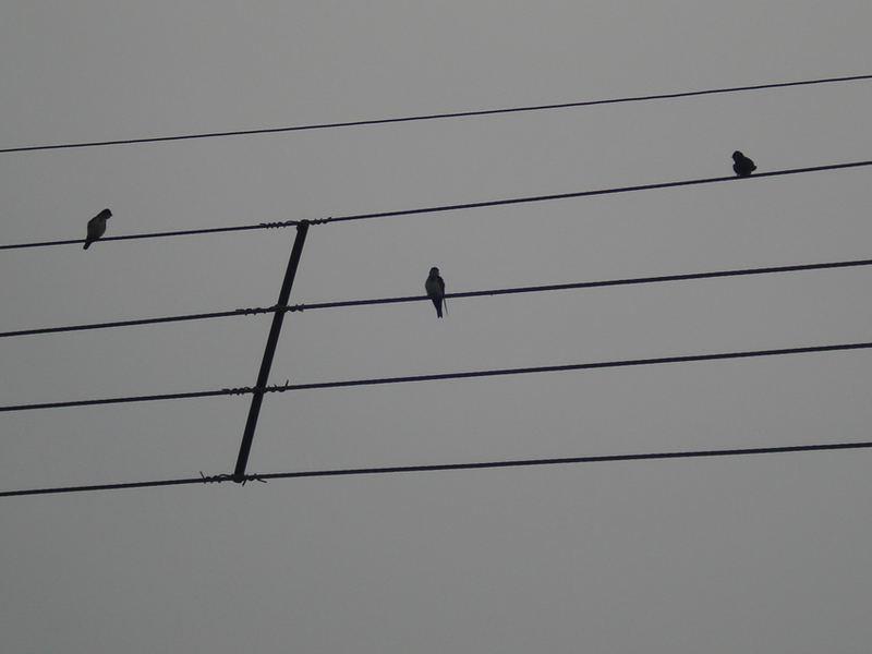 three black and white swallow