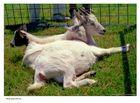 Three Goat Pile-Up