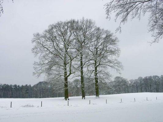 Three trees in winter
