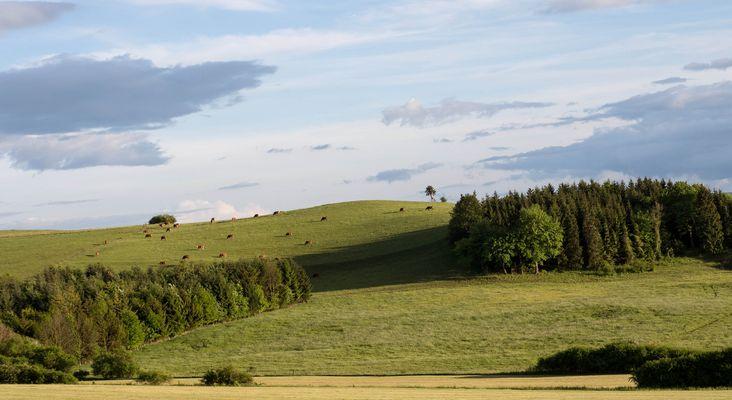 Thüringer Kühe