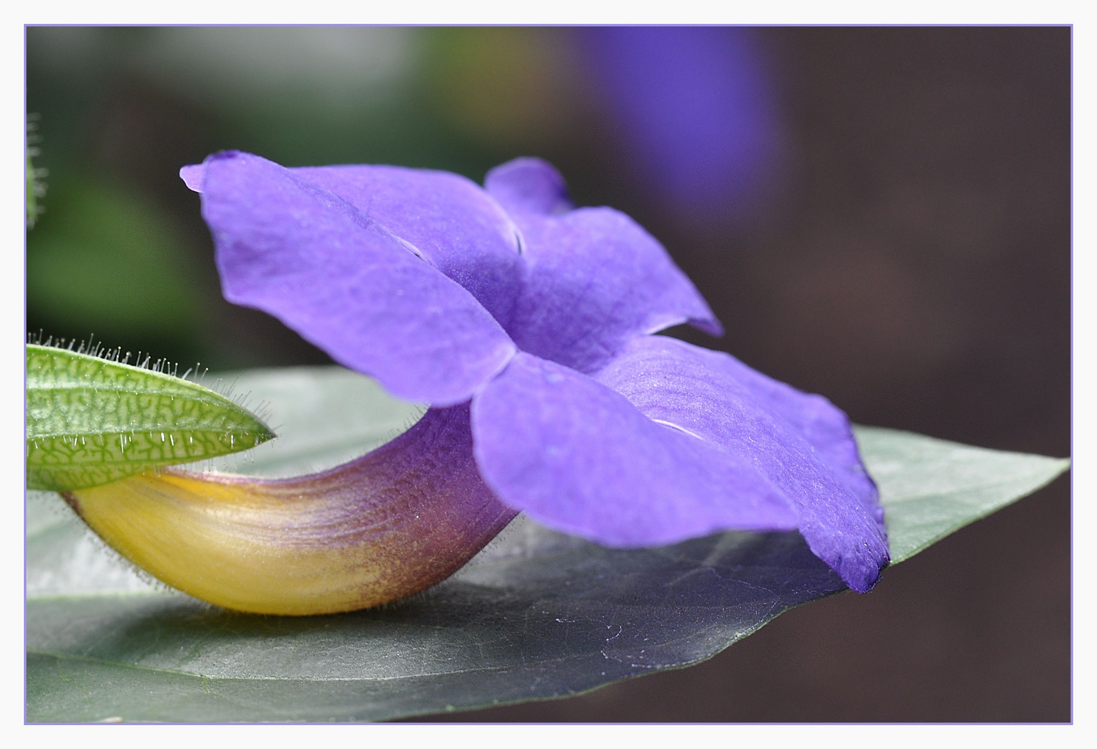Thunbergia - Himmelsblume