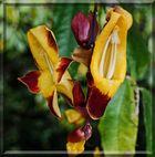 Thunbergia mysorensis - Himmelsblume