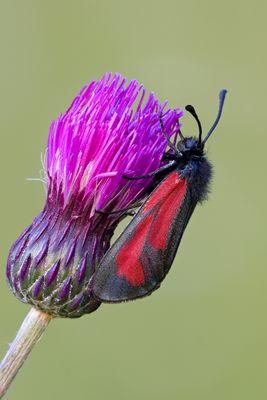 Thymianwidderchen - Zygaena purpuralis