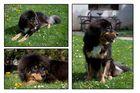 Tibet Mastiff - Do Khyi