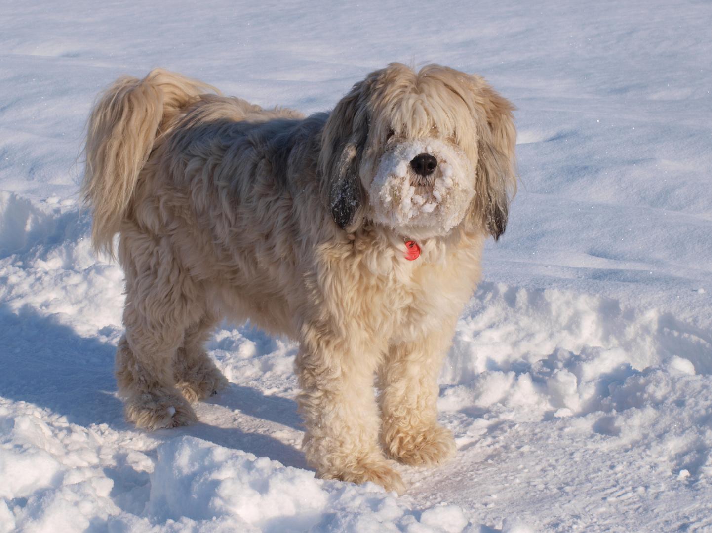 Tibet Terrier Balu mag den Pulverschnee