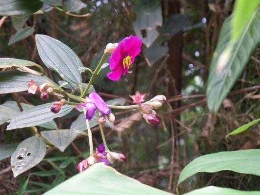 Tibouchina lepidota