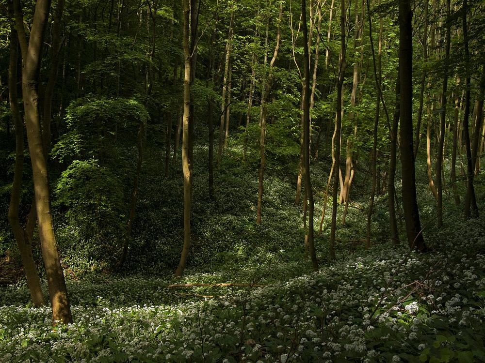 Tief im Bärlauchwald