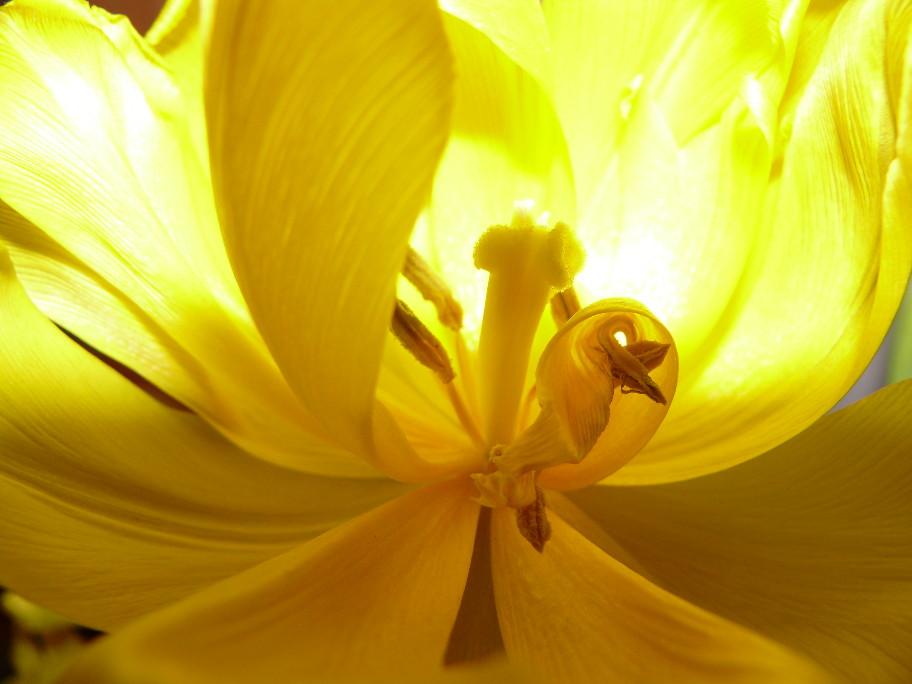 Tief im innerem der Tulpe