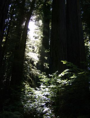 Tief in den Redwoods