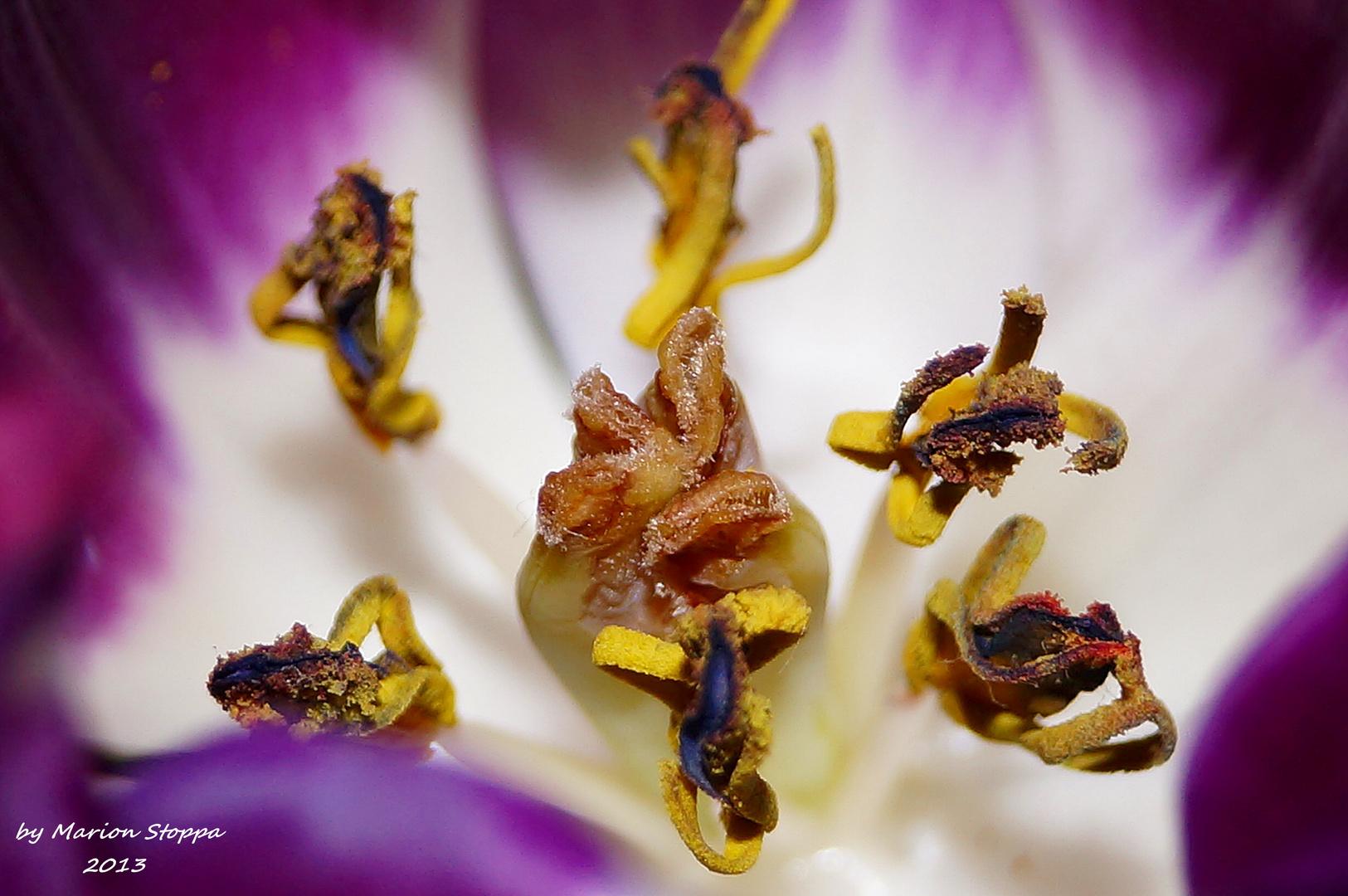 Tiefe Einblicke--Die Tulpe