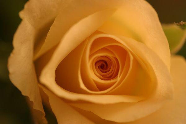 tiefer Blick in gelbe Rose