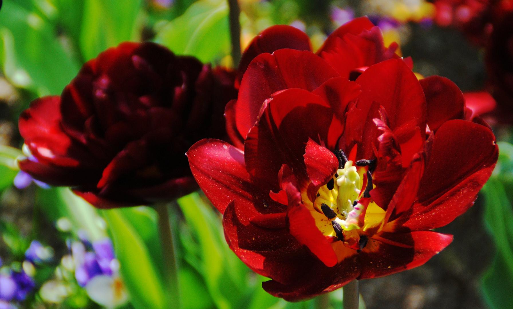 Tiefrote gefüllte Tulpe