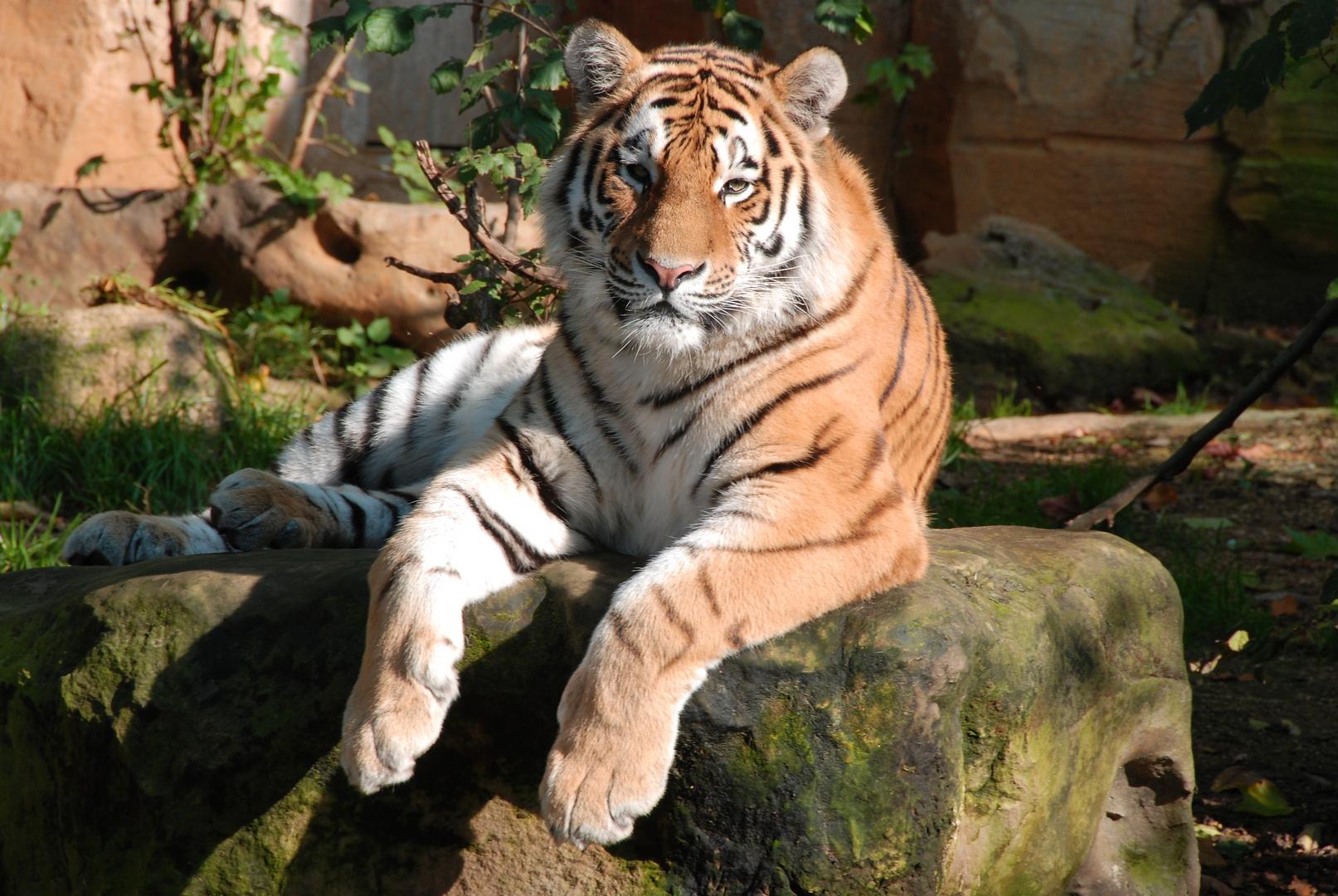 Tieger im Leipziger Zoo