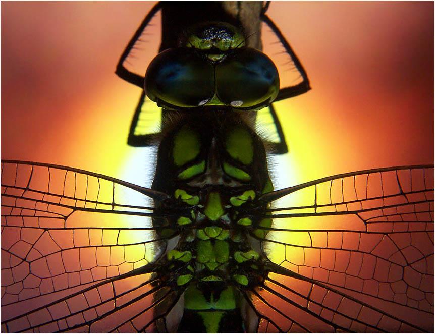 Tiere im Garten III - Aeshna cyanea
