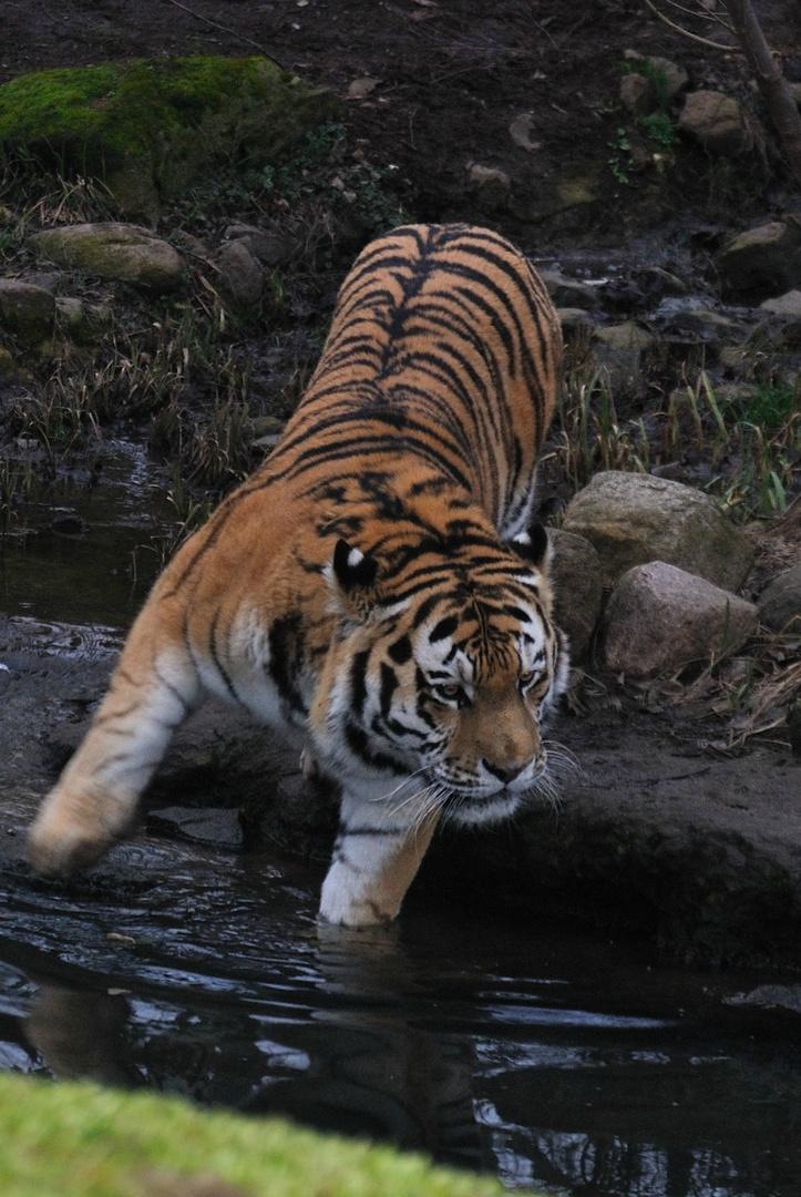 Tierfotografie| Tiger