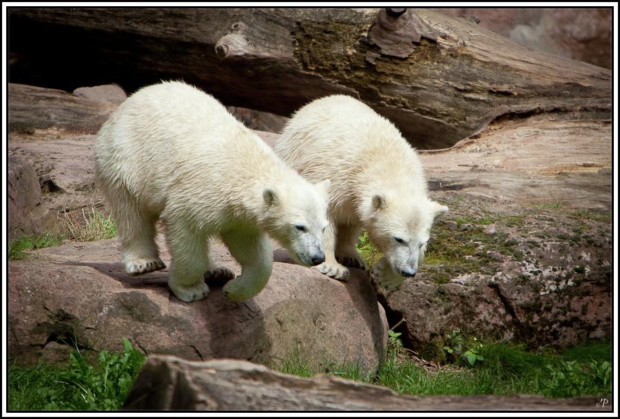 Tiergarten Nürnberg, Eisbären 2