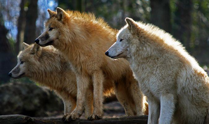 Tiergarten Schönbrunn - Arktische Wölfe