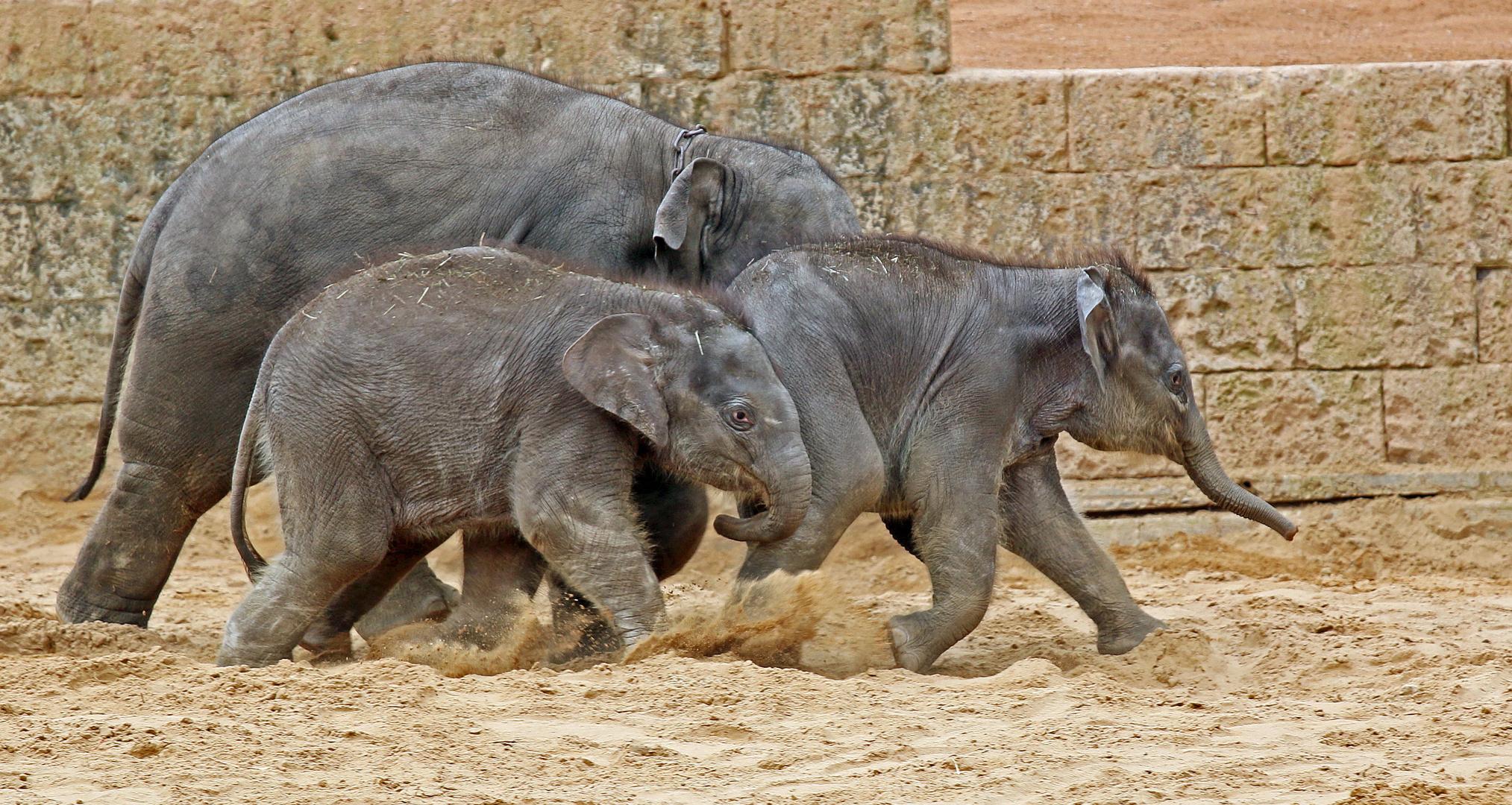 Tierisches Elefantenrennen