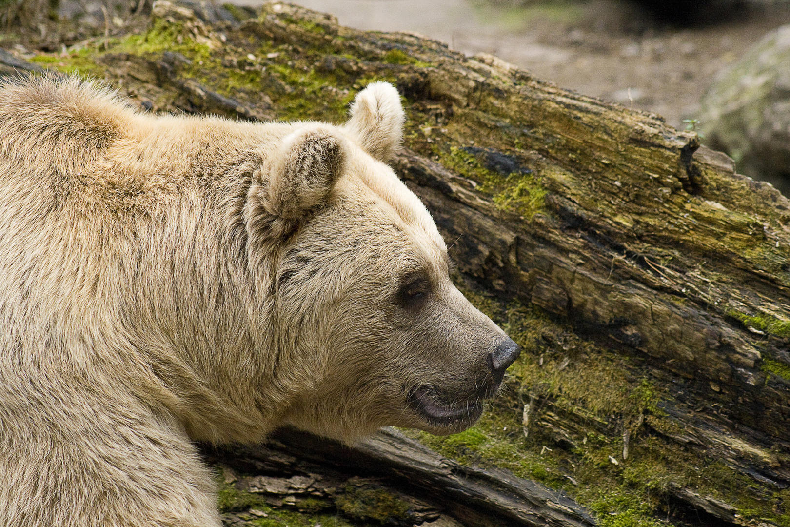 Tierpark Goldau, Braunbär