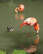 Tierpark Hellabrunn München ..... 1 ..... Flamingos