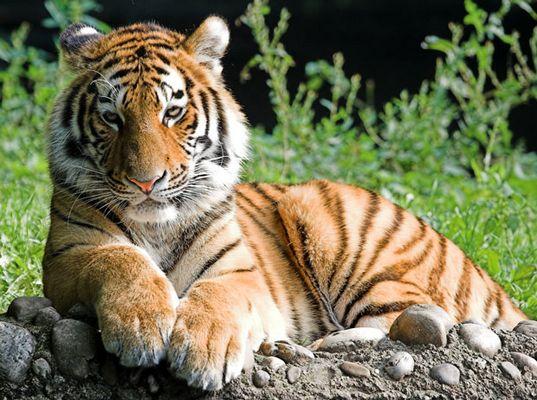 Tierpark Hellabrunn - Tiger