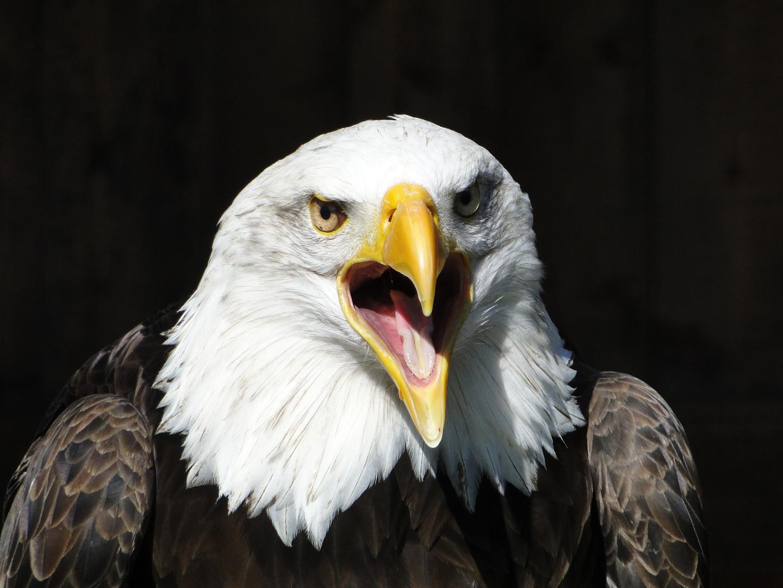 Tierpark Sababurg: Amerikanischer Seeadler - Portrait