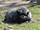 Tierpark Sababurg: Das schlafende Hängebauchschwein