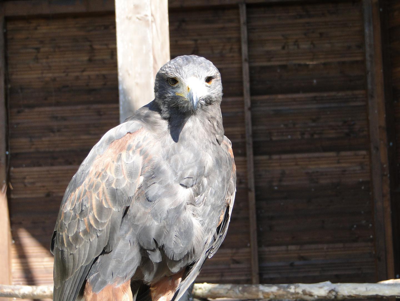 Tierpark Sababurg: Der Steinadler