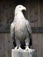 Tierpark Sababurg: Europäischer Seeadler