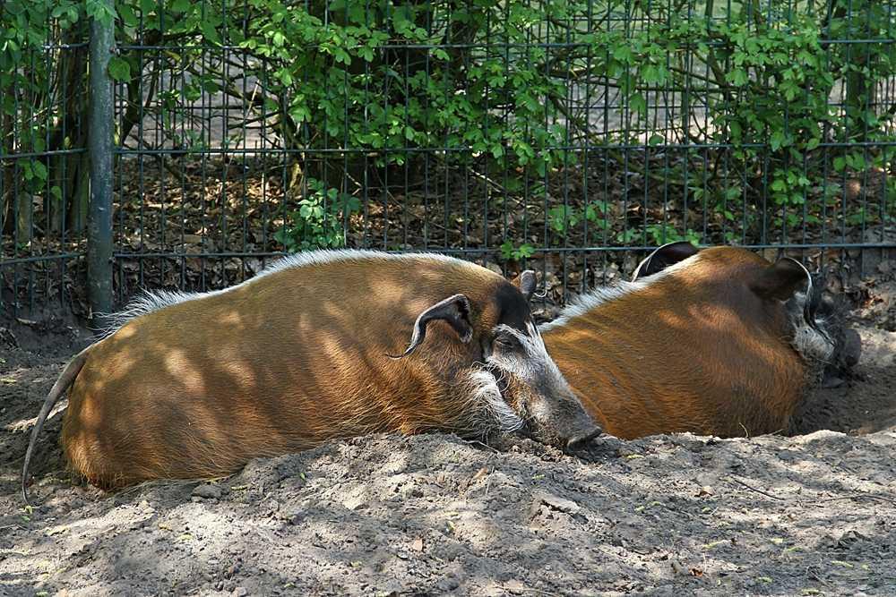 tierpark th le pinselohrschweine foto bild tiere zoo wildpark falknerei s ugetiere. Black Bedroom Furniture Sets. Home Design Ideas