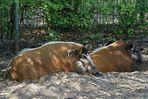 Tierpark Thüle ... Pinselohrschweine