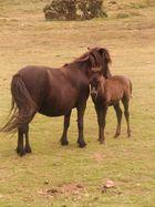 Tierschönheiten -    Pferde von Dartmoor