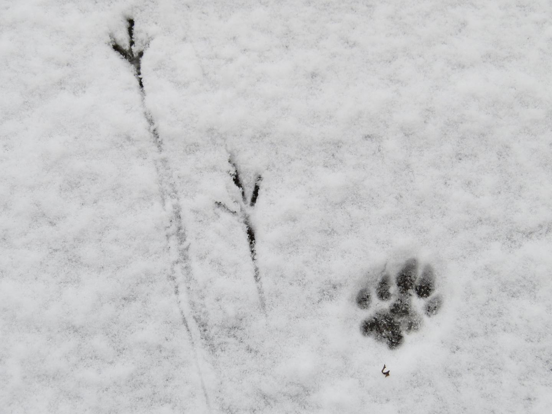tierspuren im schnee foto bild tiere spuren von. Black Bedroom Furniture Sets. Home Design Ideas
