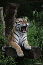 """"""" Tiger 1 """""""