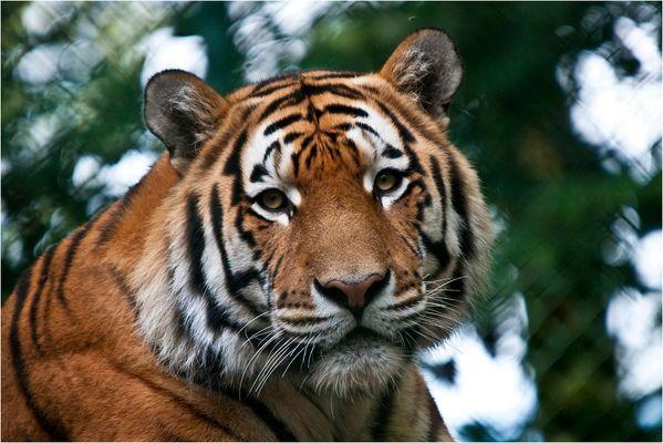 < Tiger 1/4 >