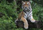 """"""" Tiger 2 """""""